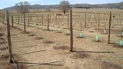 Cada vez hay más viñedos serranos en Calamuchita