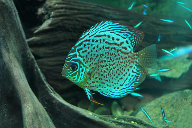 Dallas - Green Discus Fish Flickr - Photo Sharing!