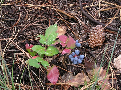 The Oregon grape in its fall coloring is a collage of green and pinkish-red leaves and blue fruits that resemble grapes. Photo copyright by Al Schneider.