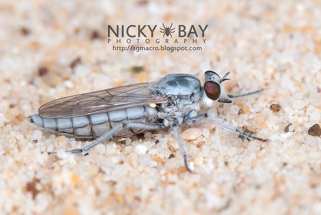 Robberfly (Asilidae) - DSC_2992