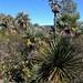 Area of plams - área de palmas entre Las Palmas y La Paz, Región Mixteca, Oaxaca, Mexico por Lon&Queta