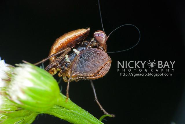 Boxer Mantis? (Mantodea) - DSC_2561