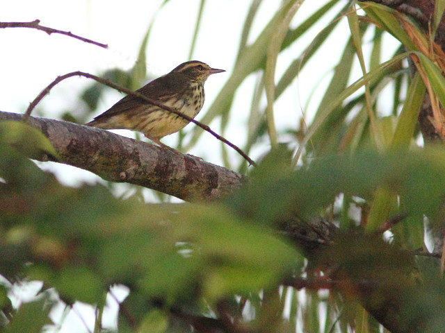 Northern Waterthrush 20121020