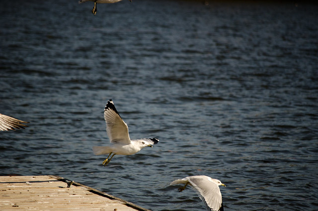 Seagulls at Rock River