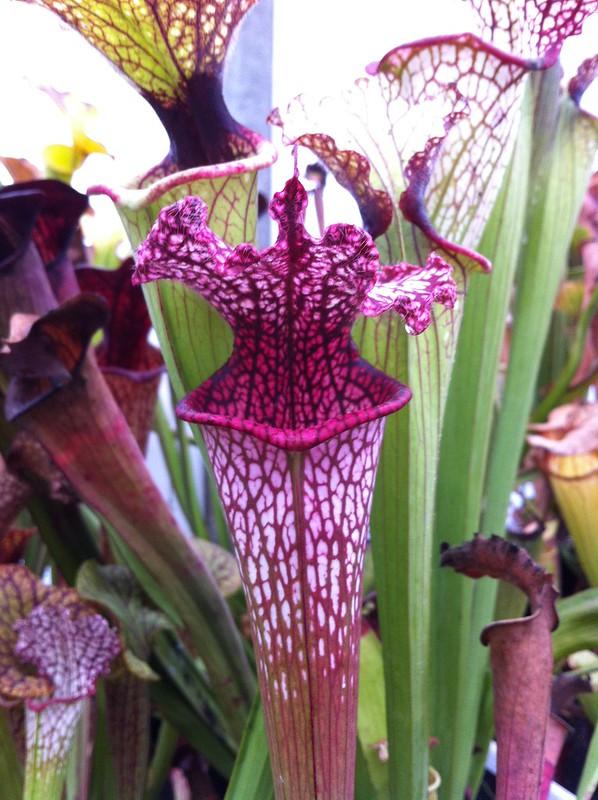 Les peut être dernière photos de leucophylla de 2012 8114690364_5102ac7c01_c