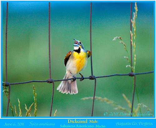 virginia shenandoahvalley dickcissel northamericanbirds spizaamericana spiza cardinalidae virginiabirds augustacounty specanimal virginiamountains weyerscave mygearandme photobypeterwendelken peterwendelken dickcisselmale dickcisselphoto dickcisselinvirginia