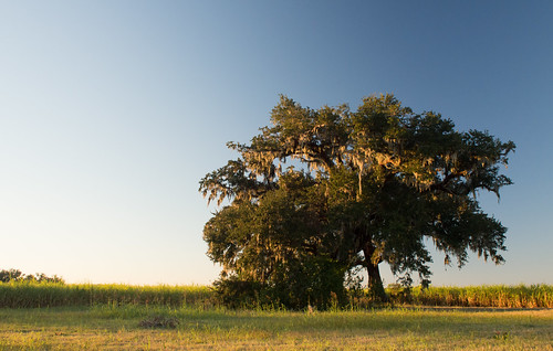 sunset tree louisiana day clear liveoak spanishmoss sugarcane sugarcanefield assumptionparish