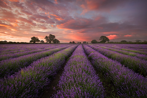 Lavender at Faulkland