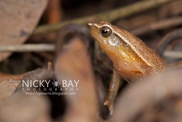 Narrow-mouthed Frog (Microhylidae) - DSC_8613