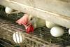 הביצה והתרנגולת