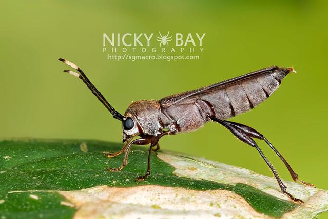 Longhorn Beetle (Cerambycidae) - DSC_7866