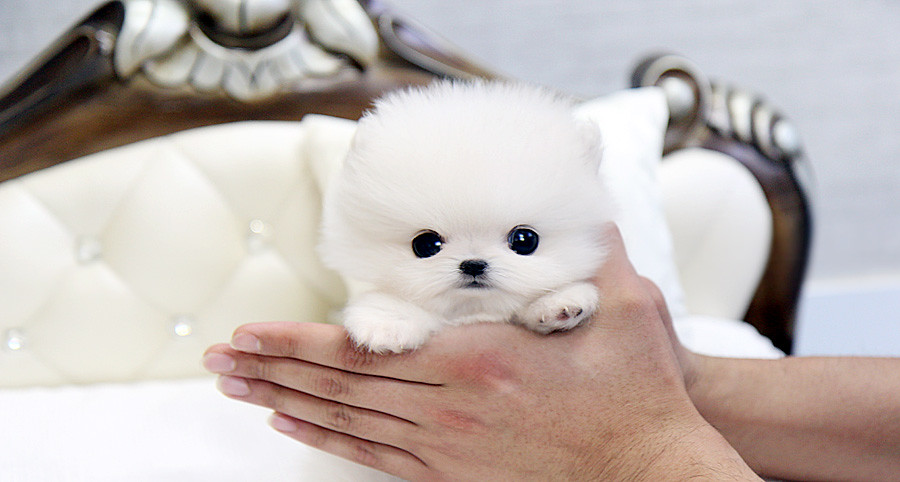 Beautiful teacup pomeranian puppy - a photo on Flickriver