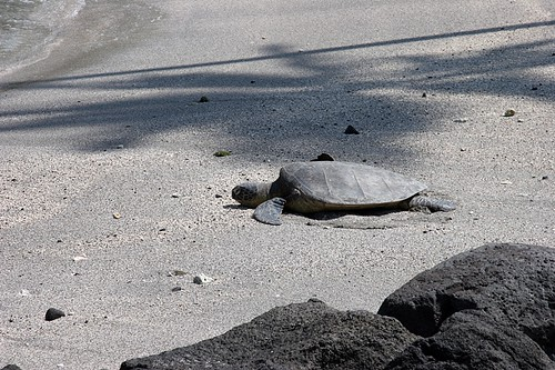 Turtle at  Pu'uhonua o Honaunau