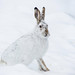 Jackrabbit Snow by djking