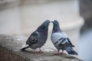 Pigeons Love