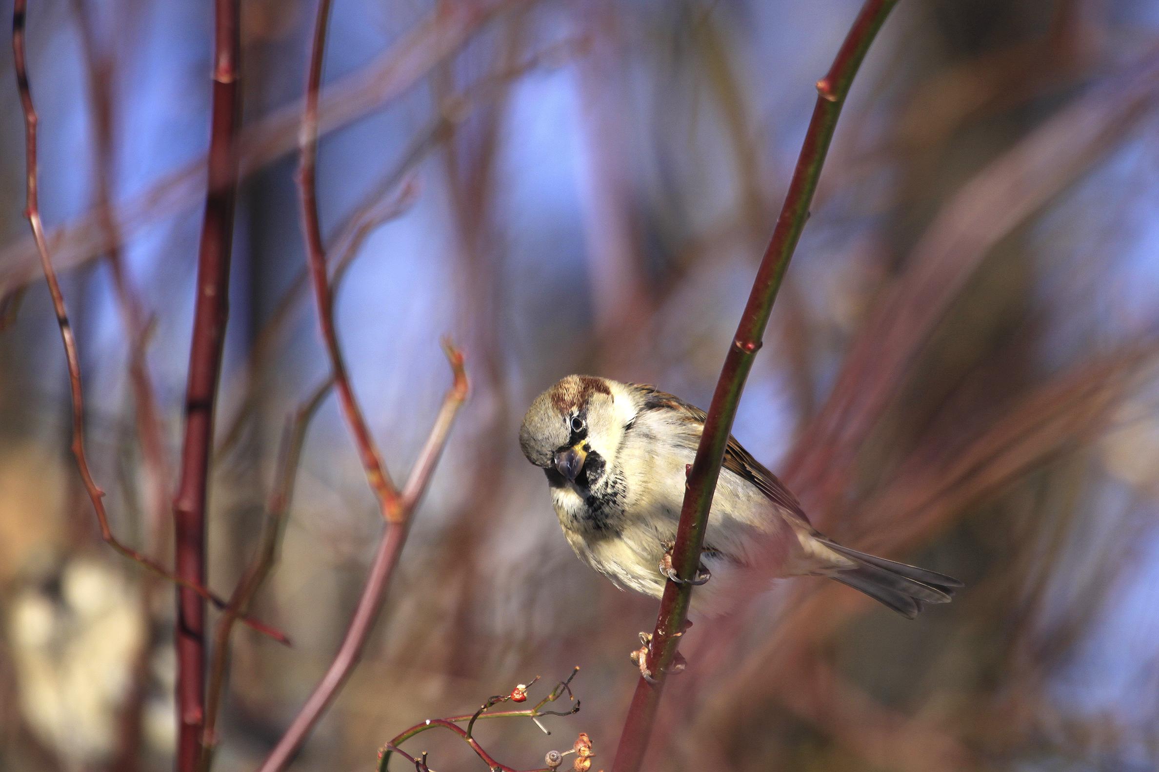 sparrow sweetie2