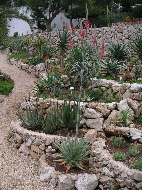 Aloe pretoriensis 01