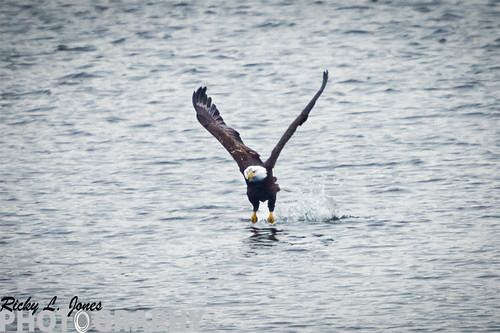 Eagle coming out of a unsuccessful Dive by Ricky L. Jones Photography