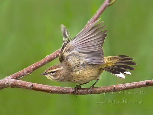 Palm Warbler's take off