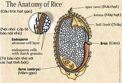 Cấu trúc hạt gạo lứt