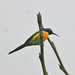 Small photo of Mrs. Gould's Sunbird (Aethopyga gouldiae)