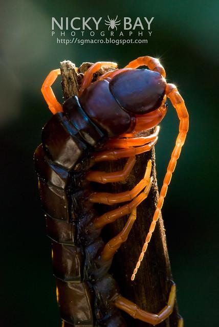 Centipede (Chilapoda) - DSC_8245