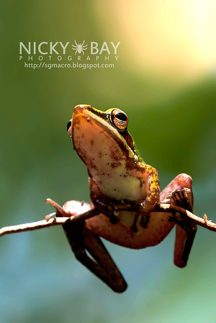 Copper-cheeked Frog (Hydrophylax raniceps) - DSC_7402