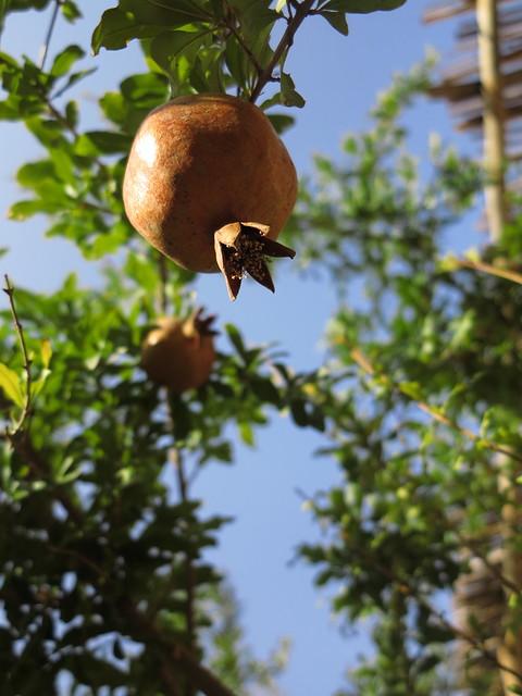 pomegranate tree granatapfel obst fruit pflanze iran kashan flickr photo sharing. Black Bedroom Furniture Sets. Home Design Ideas