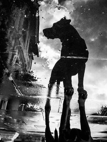 [フリー画像素材] 動物 1, 犬・イヌ, 反射・鏡像, モノクロ ID:201210181800