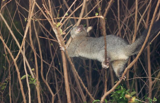 treepossum8