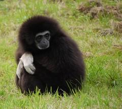 gibbon, animal, primate, fauna, old world monkey, new world monkey, wildlife,