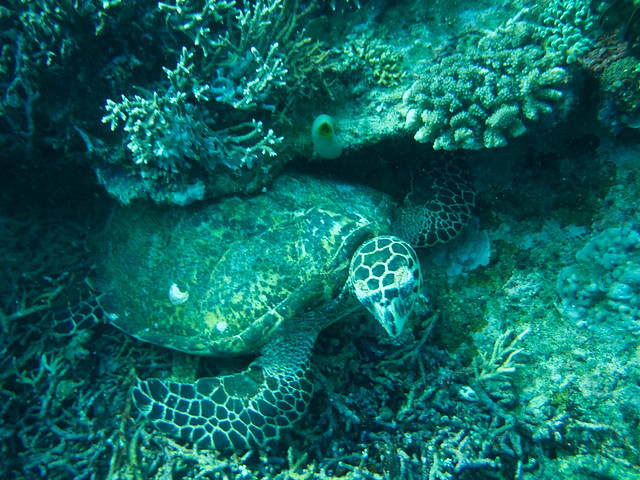 Turtle hiding in the coral