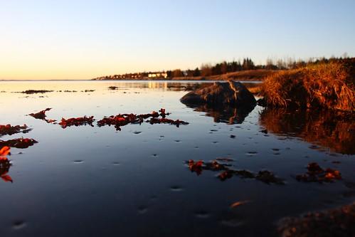 sunset sea seaweed sjór kópavogur sólsetur gullin þang