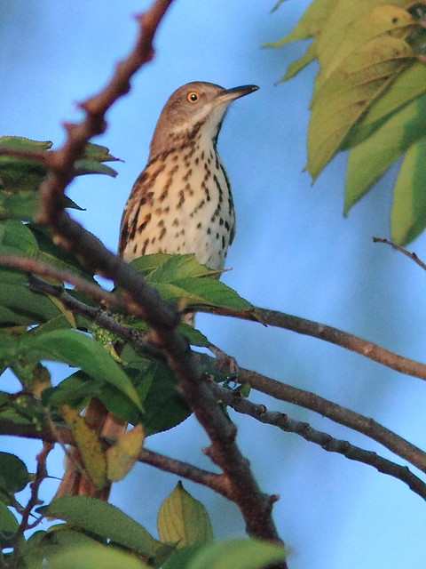 Brown Thrasher 20121018