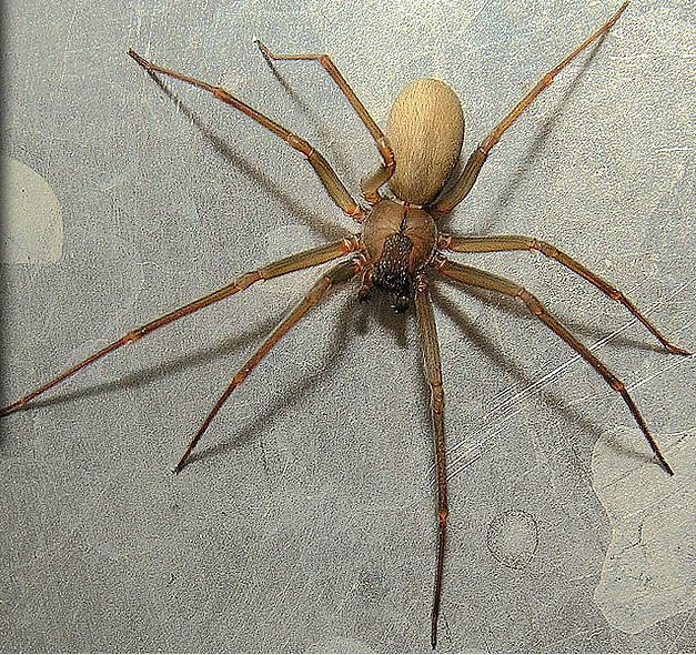 Loxosceles reclusa, Brown Recluse Spider
