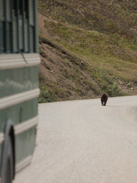 Grizzly on the road