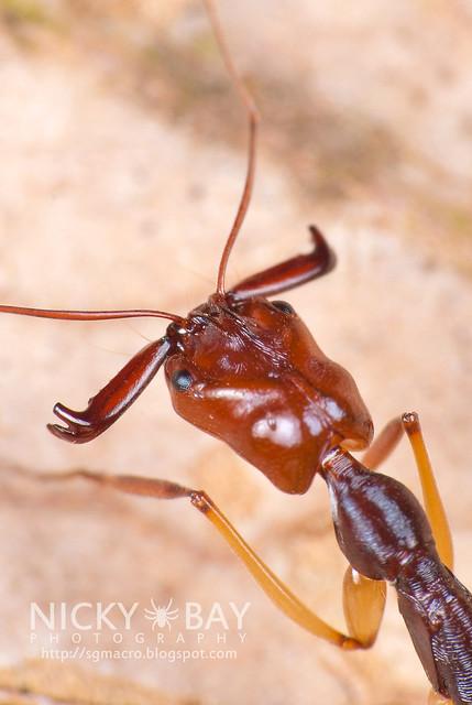Trap Jaw Ant (Odontomachus sp.) - DSC_3195