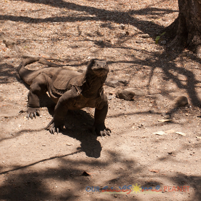 Komodo Dragon National Park-67.jpg