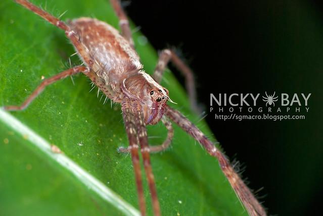 Nursery Web Spider (Pisauridae) - DSC_2077