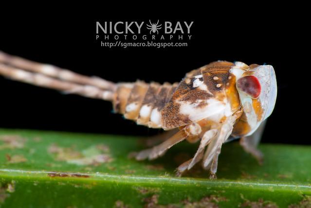Planthopper nymph (Fulgoromorpha) - DSC_1963