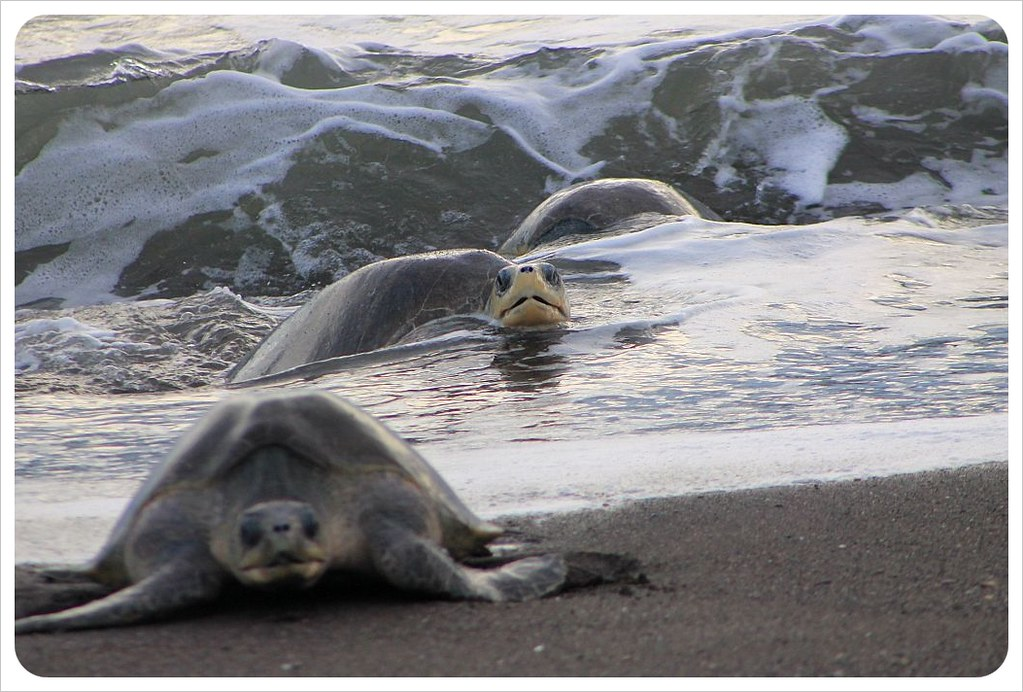 turtles coming out of the ocean ostional costa rica