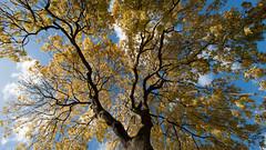 An autumnal golden ash