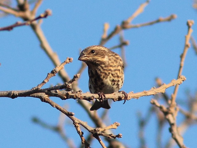 Purple Finch 20121025