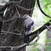 Small photo of Eurasian Jay