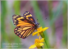 Chiricahua White Garden Canyon Arizona butterfly photography by Ron Birrell; DSC_1083