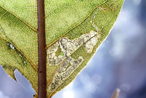 Stigmella samiatella leaf mine on Castanea