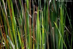 flower(0.0), wheatgrass(0.0), lawn(0.0), plant stem(0.0), prairie(1.0), sweet grass(1.0), grass(1.0), plant(1.0), hierochloe(1.0), green(1.0),