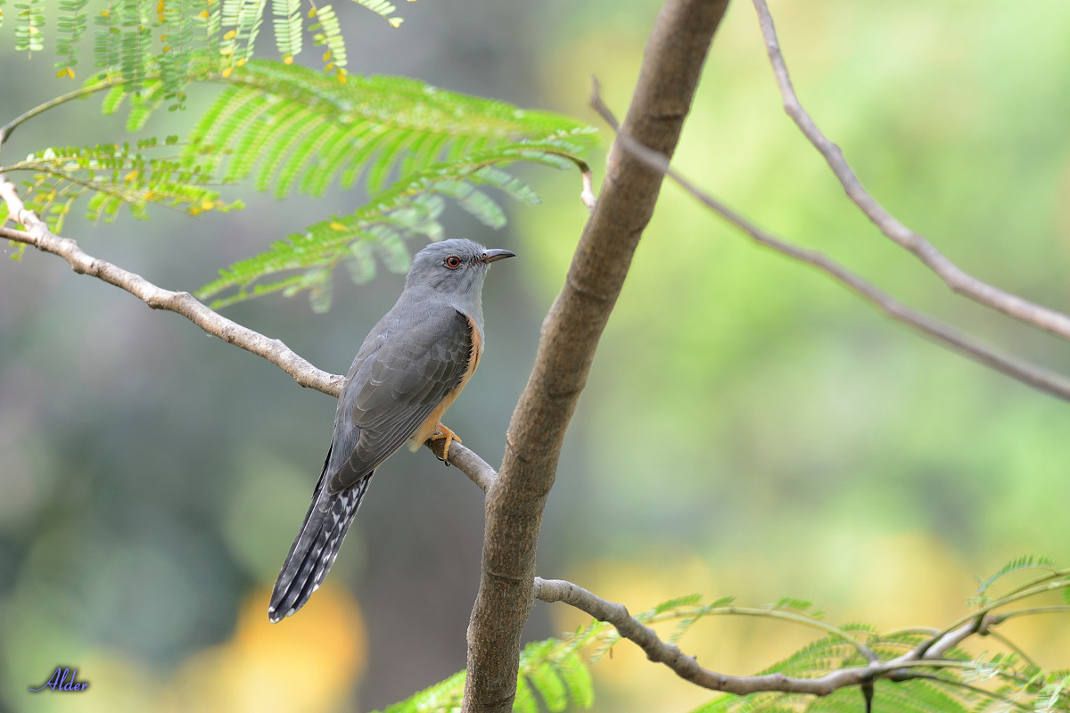 Plaintive_Cuckoo_1759