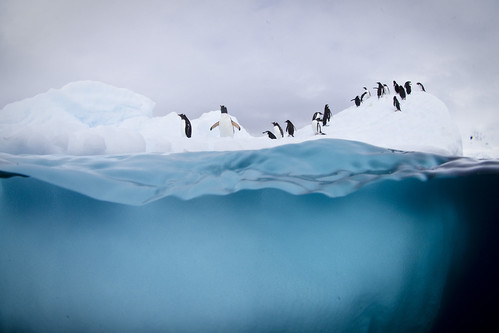 Gentoo and chinstrap penguins on ice by JustinHofman