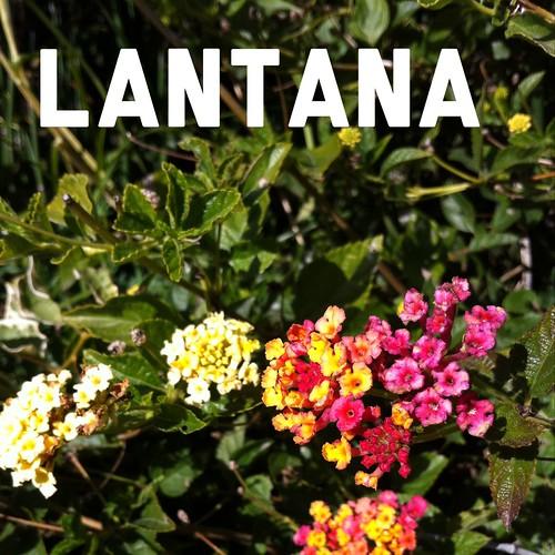 Garden Alphabet: Lantana